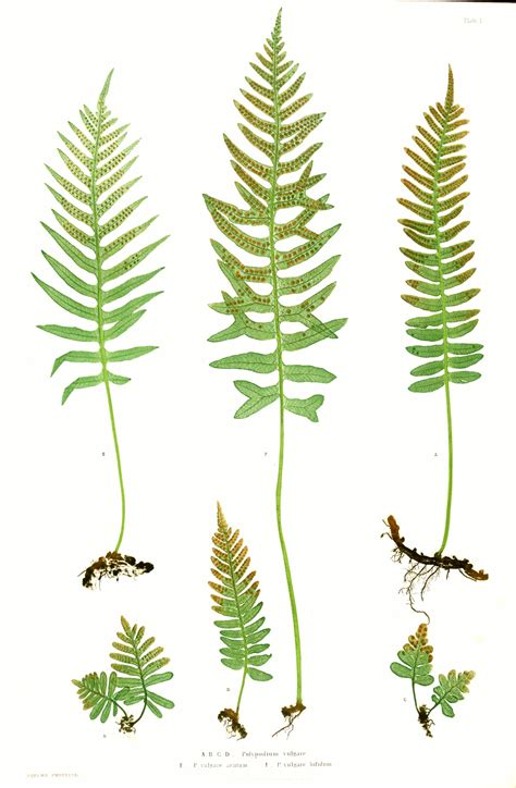 The Ferns of Great Britain and Ireland - Wikipedia