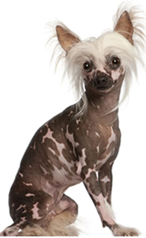 Review-of-Chinese-Crested|Chinese-Crested
