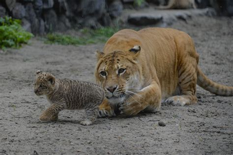 Photos: Cute Liliger Cubs At the Novosibirsk Zoo, Russia