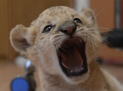 The world's first Liliger born at Russian zoo (20 pics