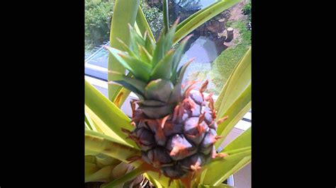 Time lapse pineapple grow 3 years - YouTube