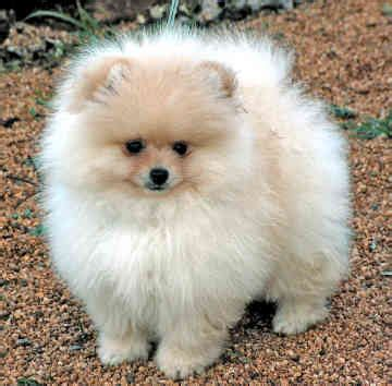 Cute Puppy Dogs: Mini Pomeranian Puppie