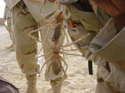 Camel Spiders: Desert Myth or Giant Hoax? | hubpages