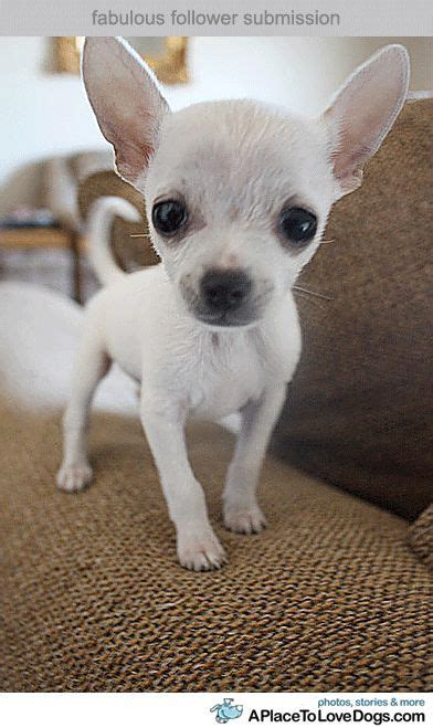 1018 best Chihuahua Cuteness images on Pinterest