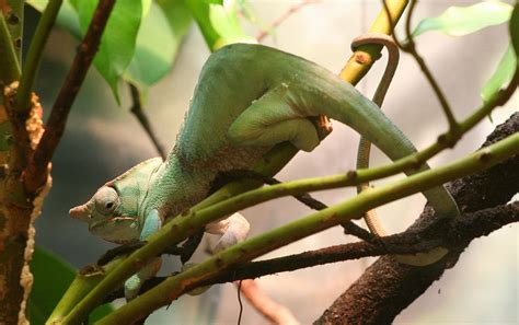 Two-banded chameleon - Wikipedia