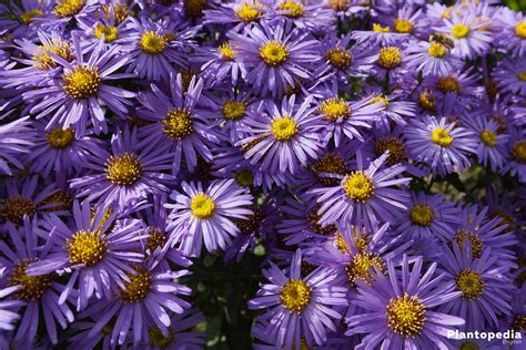 Aster Plant Care - How to Grow and Care for this Flower
