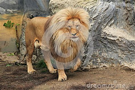 Northeast Congo Lion Royalty Free Stock Images - Image