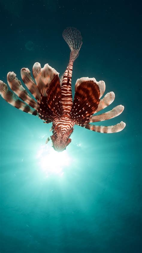 Wallpaper lionfish, fish, red sea, underwater, flying fish