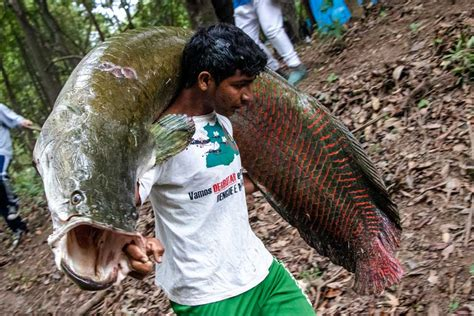 Once near extinction, Amazon giant prized fish winds up on