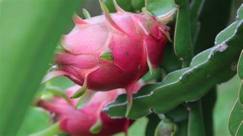 How to grow a Dragon Fruit Cactus from seed - Hylocereus