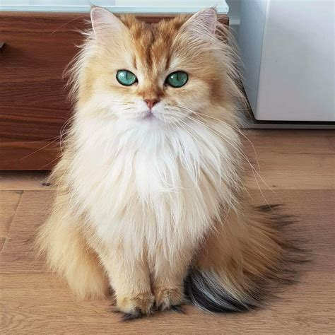 Smoothie the Cat | Cute cats and kittens, Smoothie cat
