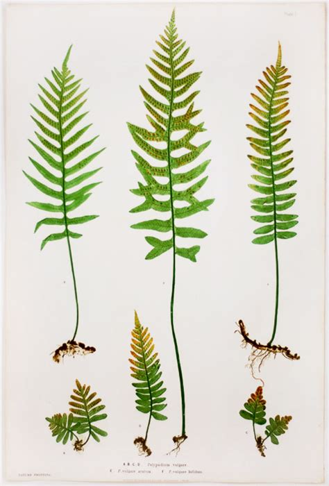 Polypodium vulgare Brake Root ; P