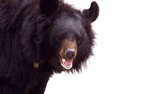 Asian Black bear - Animal Facts and Information