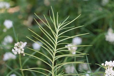 Asclepias angustifolia | Bring Back The Monarchs