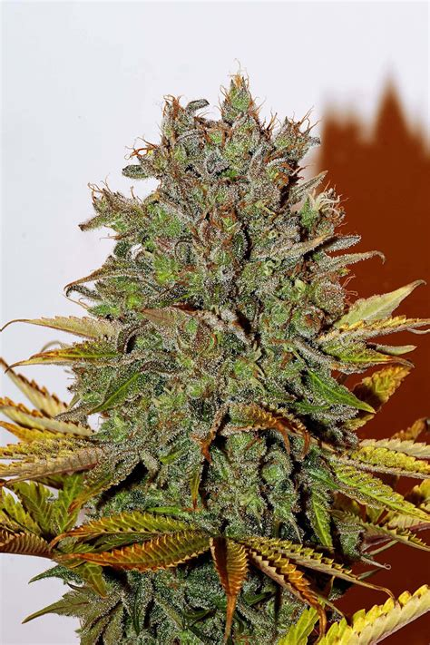 Buy White Widow Feminised Seeds from Seedsman | Seedsman